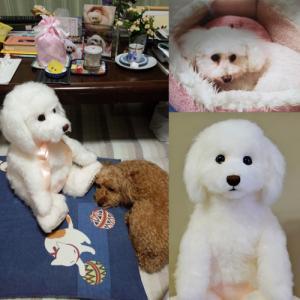 トイプードル「メリーちゃん」のウェイトドール2ショットお写真