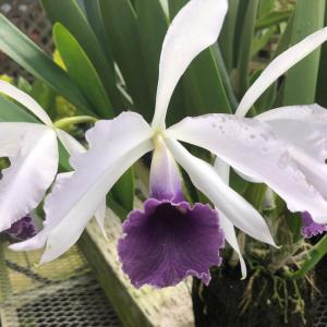 L. purpurta  coerulea