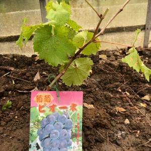 大好きなブドウを植える。
