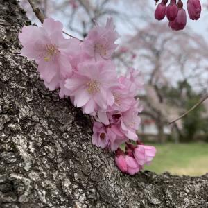 すてきな桜、すてきな一曲