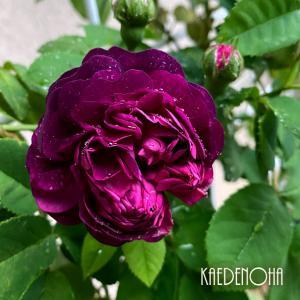 窓フェンスのバラ…ORラネグレスと、悲しきマルガリータ※ムシ注意