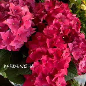 紫陽花のビビッドカラーが欲しい!その1~赤系
