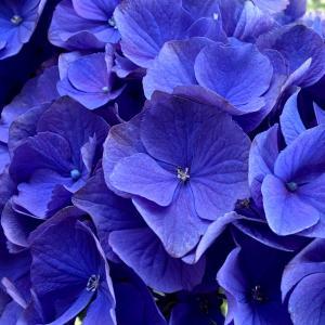 紫陽花ビビッドカラー購入♪その3~真っ青な本命!
