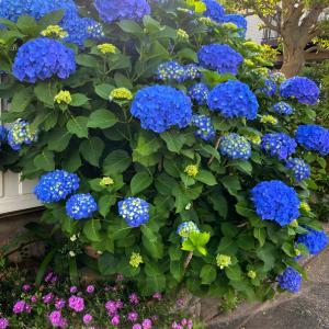 ここから始まった紫陽花ビビッド、我が家の濃色ヤマアジサイ