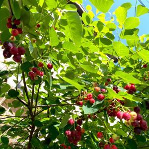 庭のジューンベリーで果実酒作り♪