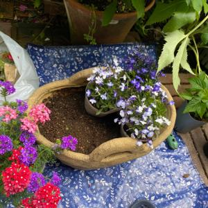 青花寄せ植えのはずが…ロベリアからイパネマ鉢へ