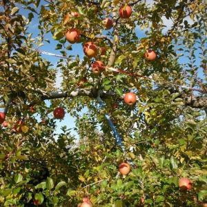 りんご「サンふじ」収穫が進んでいます
