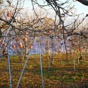 りんごサンふじ収穫はまもなく終了、ぶどうの防寒対策