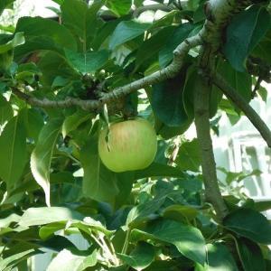 早生の青りんご収穫始まっています