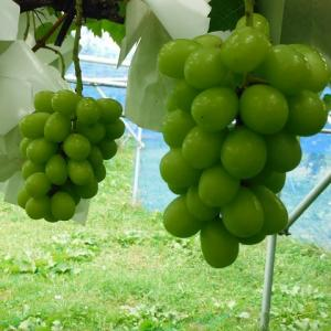 カラスの食害をはねのけ、ぶどうシャインマスカットの収穫もスタートへ