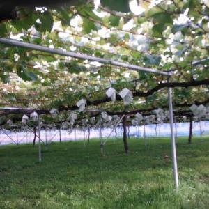 ぶどうの収穫は終了へ、次はりんごです
