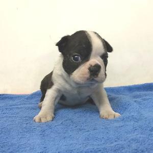 ボストンテリアの子犬 販売中 ボストンテリアブリーダー 関東