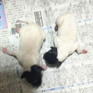 日本テリアの子犬 関東 日本テリアブリーダー