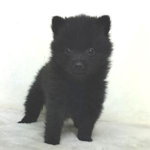 スキッパーキの子犬 販売中 関東スキッパーキブリーダー