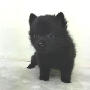 スキッパーキの子犬販売 関東 スキッパーキブリーダー