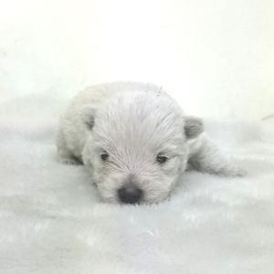 ウエストハイランドホワイトテリア(ウエスティ)の子犬 関東 ウエスティブリーダー