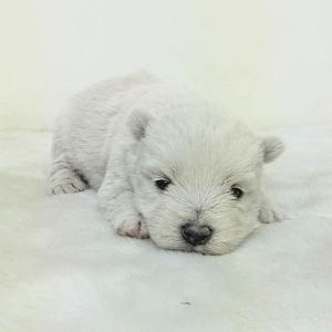 ウエストハイランドホワイトテリア(ウエスティ)の子犬 女の子 ウエスティブリーダー