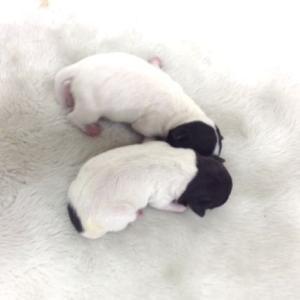 日本テリアの子犬 6月生まれ 関東(神奈川県)ブリーダー