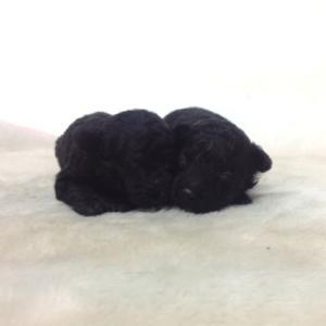 トイプードルの子犬 6月生まれ 関東(神奈川県)ブリーダー
