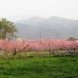 山梨の桃、満開です。