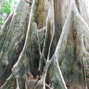 森林の中に樹齢300年 巨大な木を目指しての旅 後編