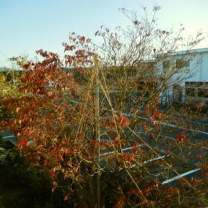 ~ 今年の我が家の木々の紅葉はあり得ない (ノд・。) グスン ~