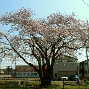 ~ 4月4日の桜は可愛い(・◇・)ゞ~