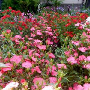 ~ 今日は真っ赤な花壇だよ ?q|゚Д゚|p~
