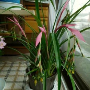 もう1鉢のヨウラクツツアナナスの開花