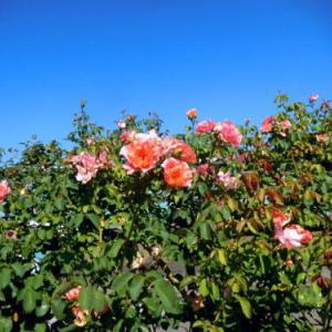 一番近いミニのバラ公園は (*゚∀゚)っ