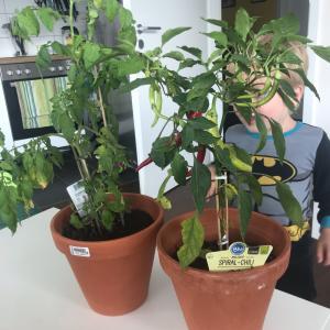 【家庭菜園】トマトとチリ