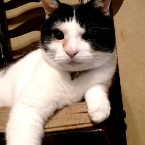 【里親決定の猫】碑文谷のたまちゃんです。