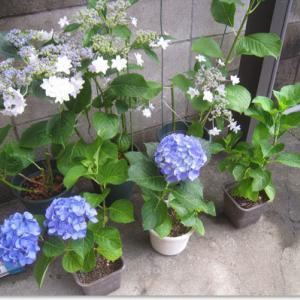 アジサイの真の花