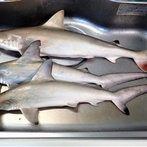 シュモクザメを食べてみよう♪