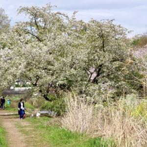 野川の桜道