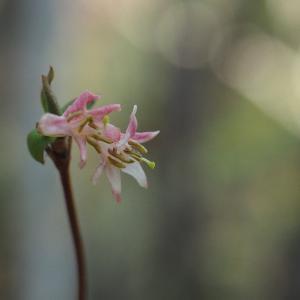 二つ箭山~ウグイスカグラ咲きました。