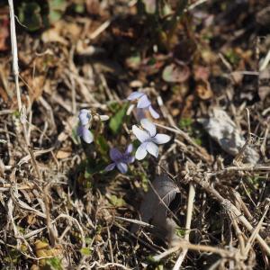 二つ箭山~シュンラン咲きました。
