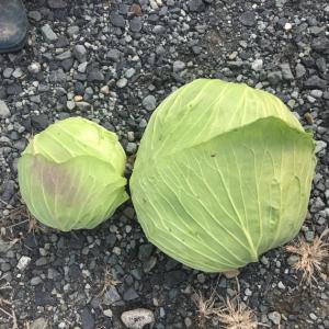 キャベツ収穫❣️