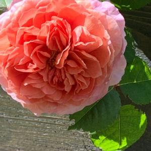 薔薇が咲き始めました&ビーツスコーン