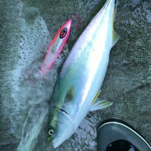 超簡単!男の釣り魚料理、ワラサ編