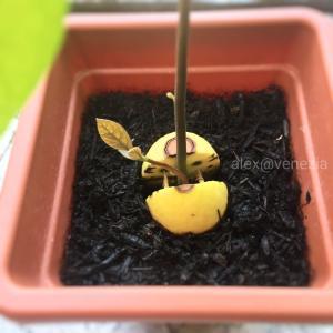 満月に合わせて楽しみにしている事♪ @ヴェネツィアで里芋栽培