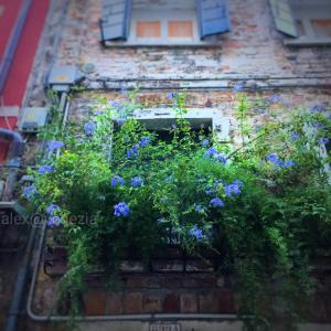 季節の変わり目 と ルリマツリ @ヴェネツィア