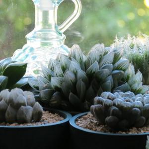 多肉植物ハオルチア「ブルーレンズ」の植え替え