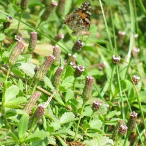 岩垂れ草   葉山で見かけた蝶と花