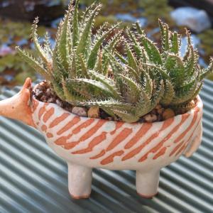 ハリネズミ鉢に多肉植物「ディスコウォルシュ」
