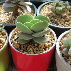 丸い葉の多肉植物「ディビア」と「ロチエ」