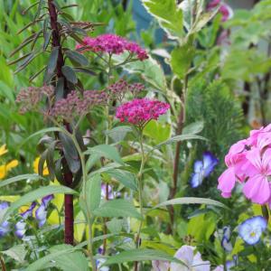 5月の花々 ムシトリナデシコ