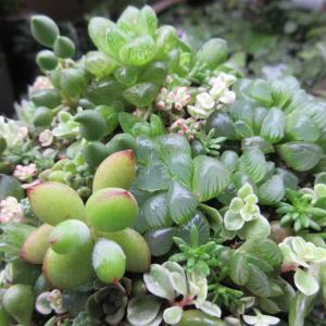 多肉植物ハオルチアとクラッスラの寄せ植え