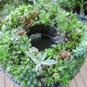 多肉植物ハオルチアの寄せ植えリース