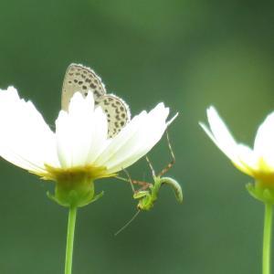 7月の蝶 ベランダの昆虫記録